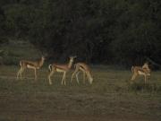 Amboseli_Thomson