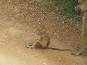 ambo_baboon