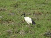 ambo_ibis