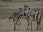 ambo_zebra1
